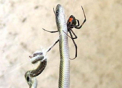 redback-spiders-eat-snakes-002